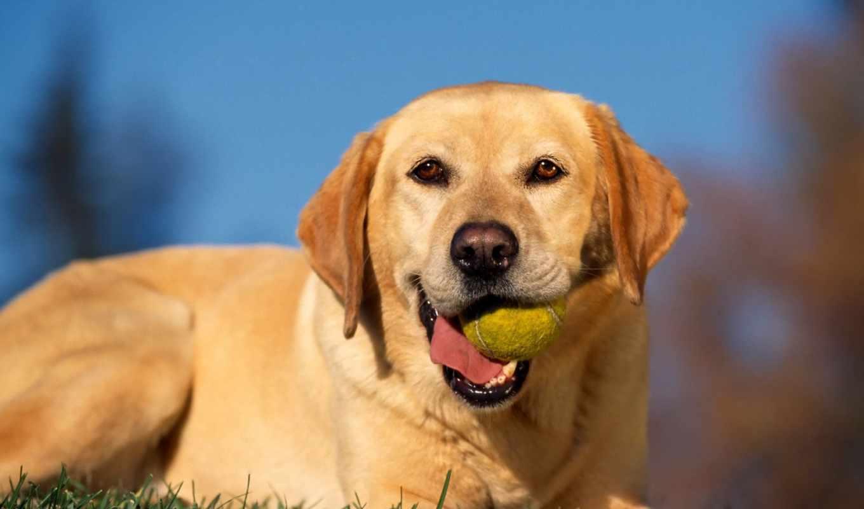 labrador, retriever, лабрадоры, собак, ретриверы, собаки, порода,