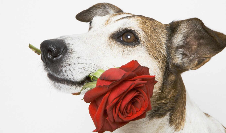 rose, dogs, flowers, nature, animals, подарок, от, красивые, пес, этот, животные, pets, цветок, roses,