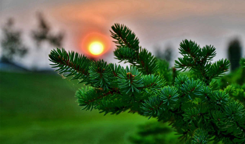 ёль, солнце, иголки, закат, макро, хвойные, лапа, природа, хвоя, картинка, desktop, елка, ветка, размытый, небо, share, изображения, компьютера, der,