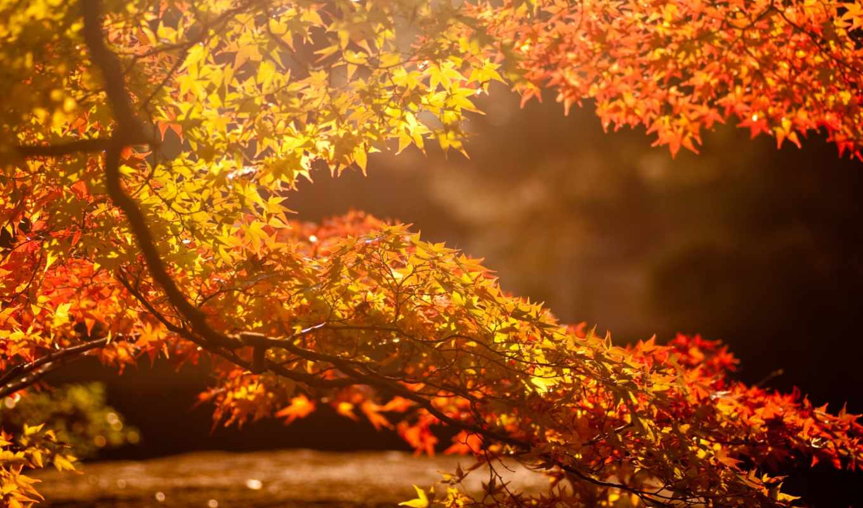 осень, солнце, дерево, листья, блики, ветвь, картинка, картинку,