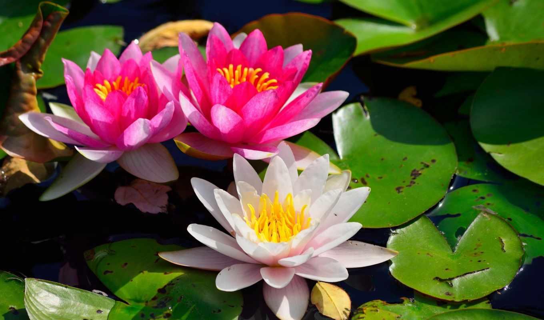 water, lily, нимфея, листья,