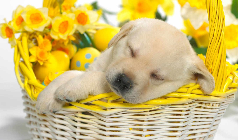 цветы, щенок, природа, желтые, собаки,