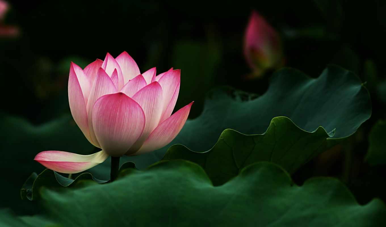 розовый, water, цветы, янв, flowers, lotus,