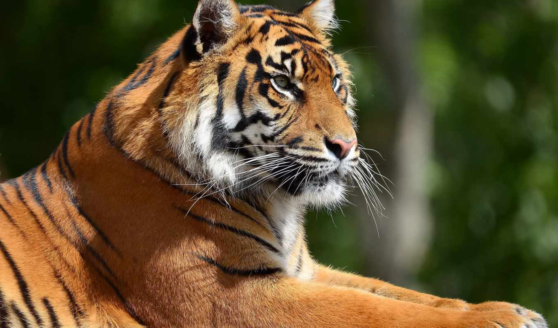 тигр, отдых, профиль, морда, картинку, картинка,