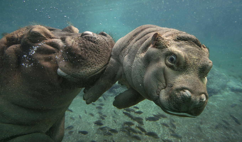 вода, мама, zhivotnye, бегемоты, природа, малыш, гиппопотам, hippos,