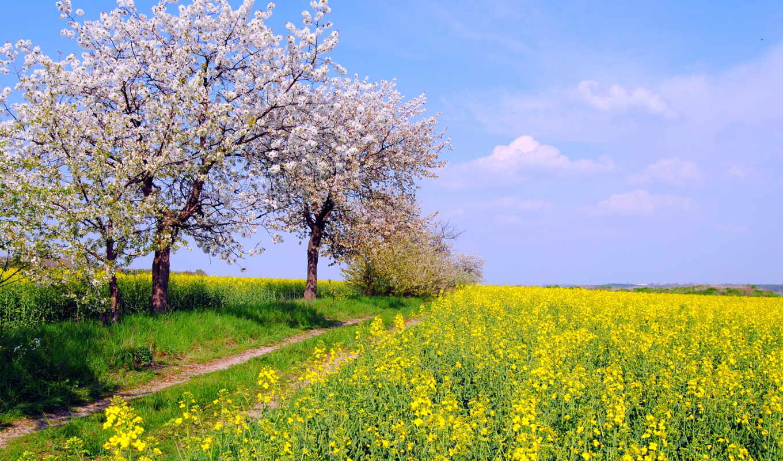 май, весна, природа, поле, рапс,