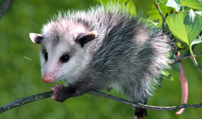 الجيرابيات, possum, picture, are,