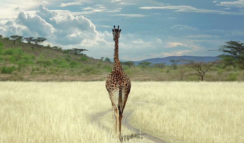 жираф, cameleopardalis, giraffa, сахары, марта, саванна, amazing, африке, югу, зверь, this, всей, встречается, почти,