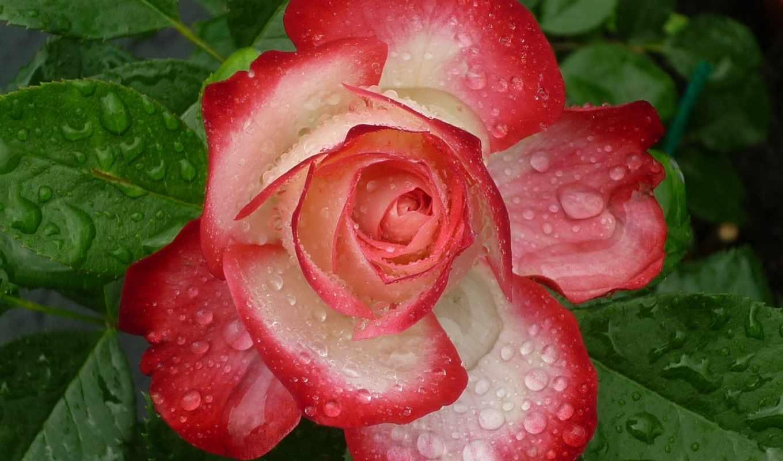 красивые, cvety, количество, roza,