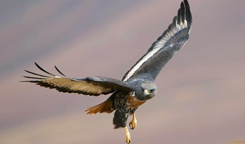 birds, prey, полет, buzzard, птица, также, buteo, raptors,