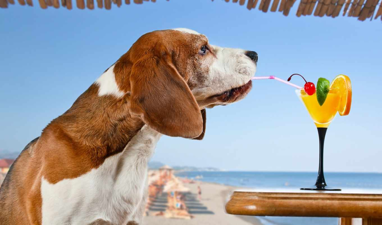 собаки, beagle, коктейль, glass, собака, zhivotnye, курорты, собак,