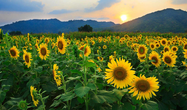 поле, пейзаж, природа, восход, sunflowers, поля, картинку, картинка, ней, this, правой, кнопкой, landscapes, выберите, excelent, мыши,