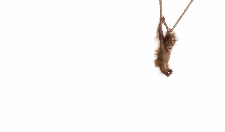 обезьянка, маленькая, минимализм, животные,