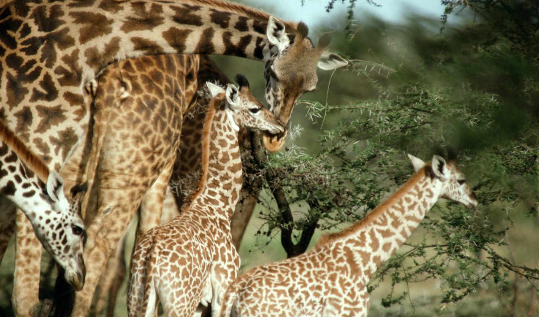 жирафы, жираф, маленькие,