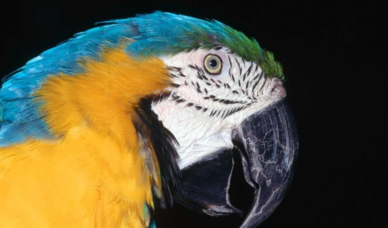blue, macaw, yellow, птицы, ara, попугай,