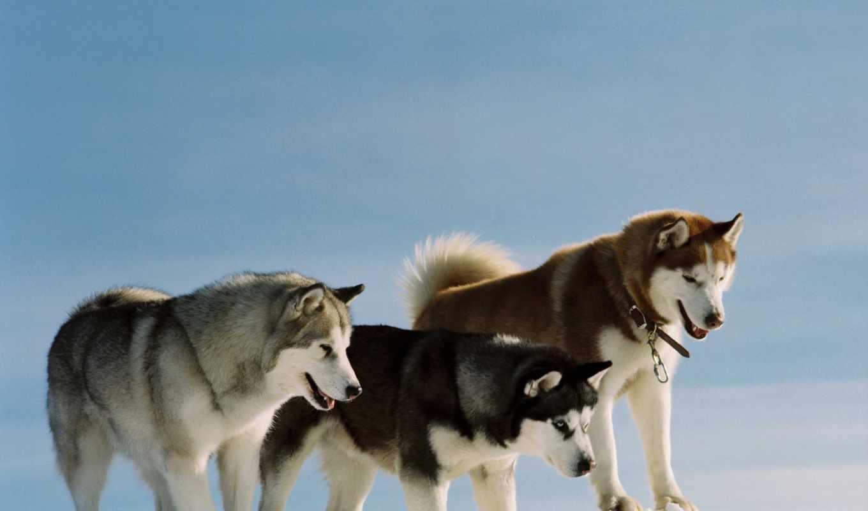 собаки, хаски, окрас, dogs, щенки, порода, широкоформатные,