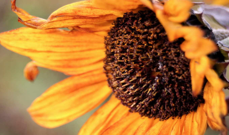sunflower, backgrounds, wallpaper, أزهار, autumn, wallpapers, images, desktop, hd, up, close, wide, cute, size, autumnsunflower, iphone, download,
