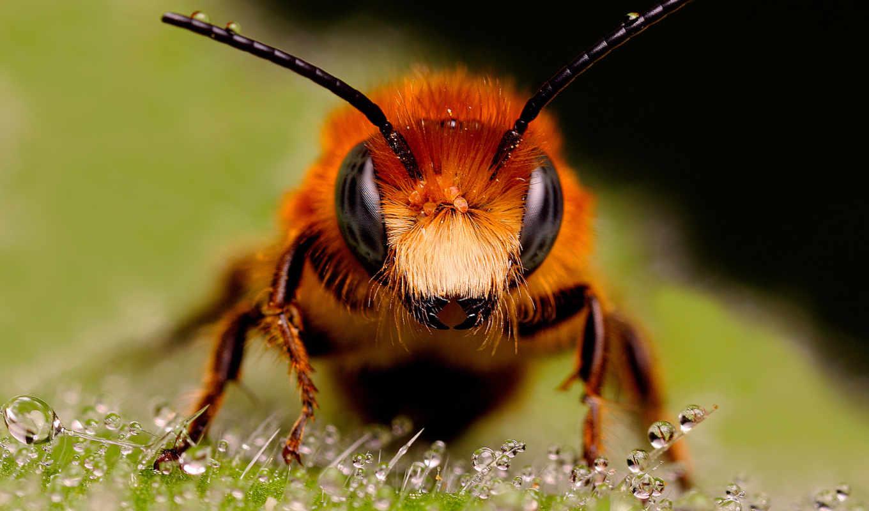 пчела, рисунки, пчелы, макро, рыжая,