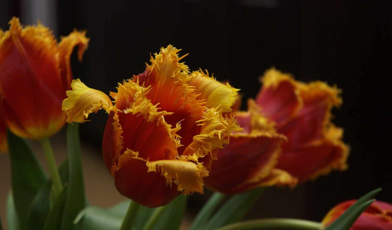 red, yellow, pictures, tulips,
