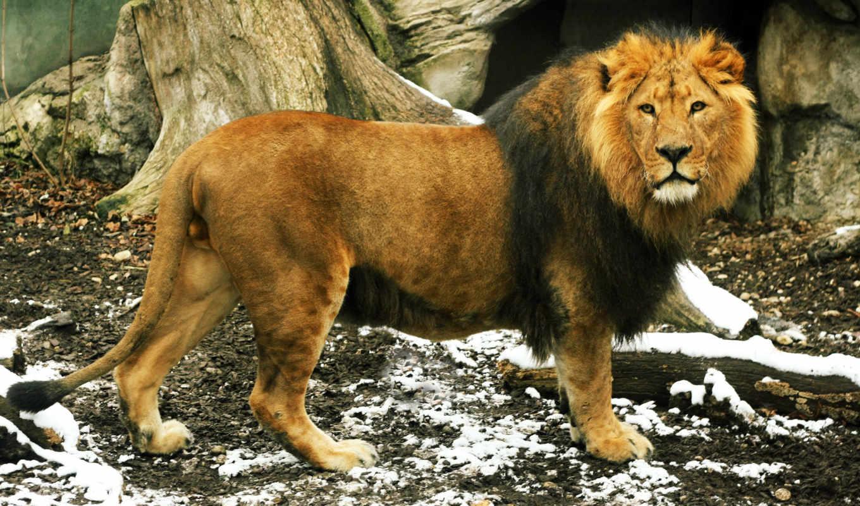 lion, грива, взгляд, king,