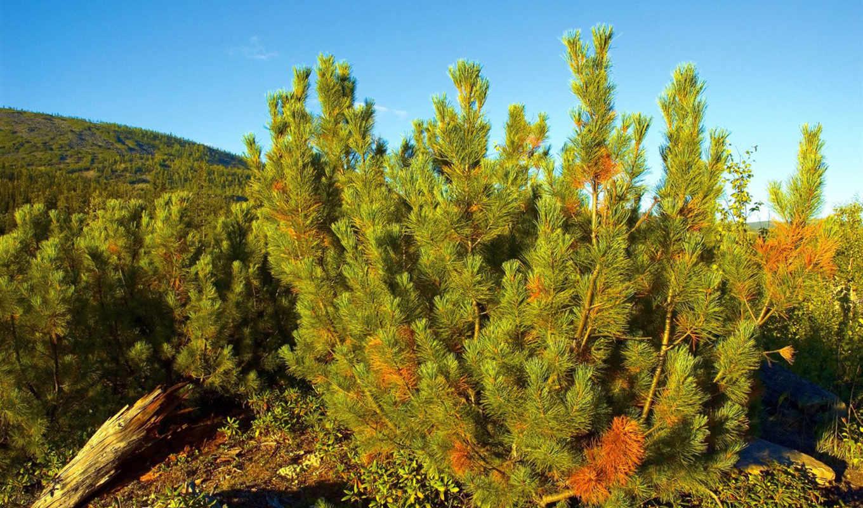 you, pine, природа, количество, сибирская, сибирь, мб, красочные, кедр,