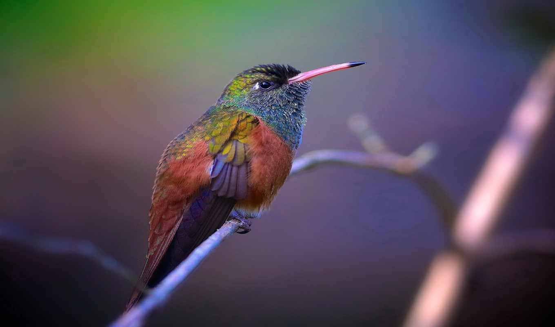 колибри, цветы, birds, desktop, птица, blue, abstract, техника, branch,