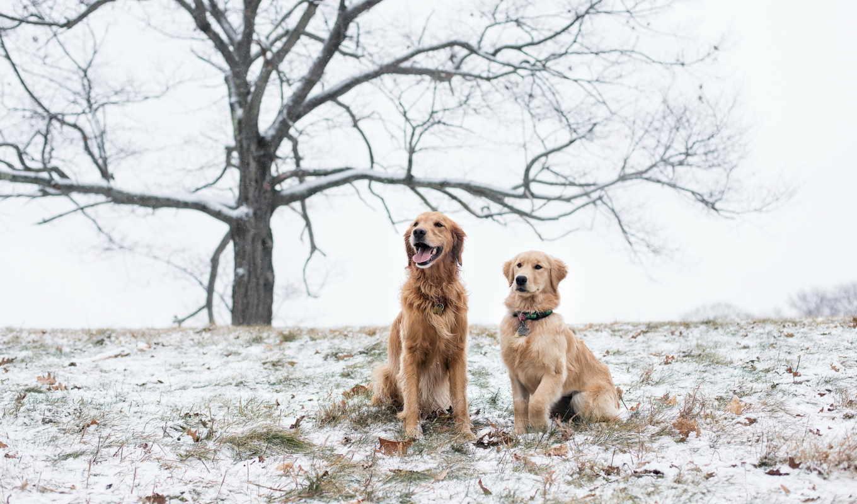 retriever, золотистый, собаки, картинка, грустно, поле,
