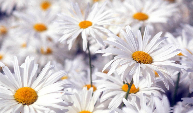 рождения, ромашки, днем, цветы, открытки, счастья, тебе, поздравления,