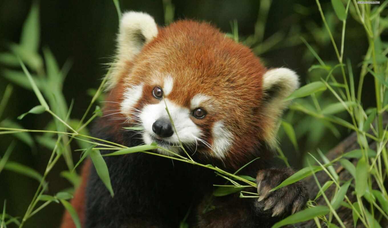 панда, есть, red, name, бамбук, идея, animal, медведь, взгляд