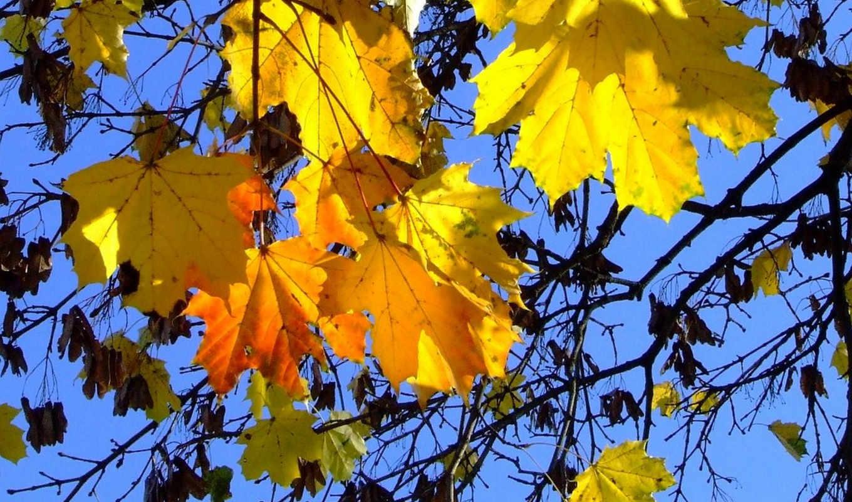 осень, золотая, листья, клен,