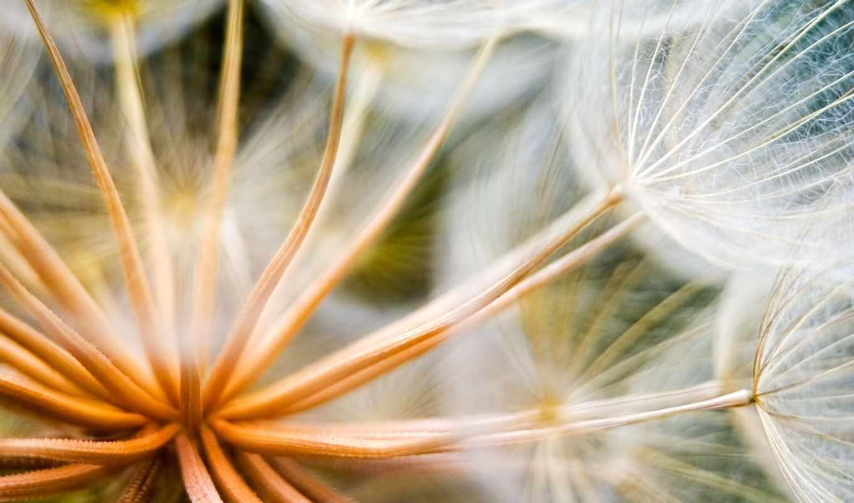 одуванчик, цветы, растение, макро,