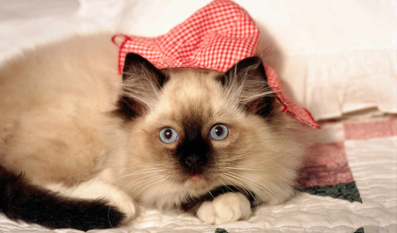 котенок, морда, одеяло, взгляд, color, кот, телефон, cvety, красивые,