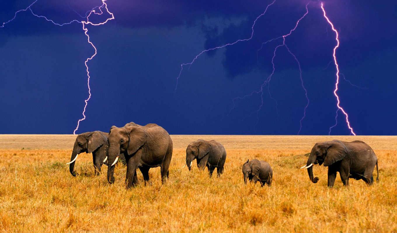 elephants, elephant, photo, iphone, animal, free, pictures, mobile, desktop, слоны, африка, молния, изображение,