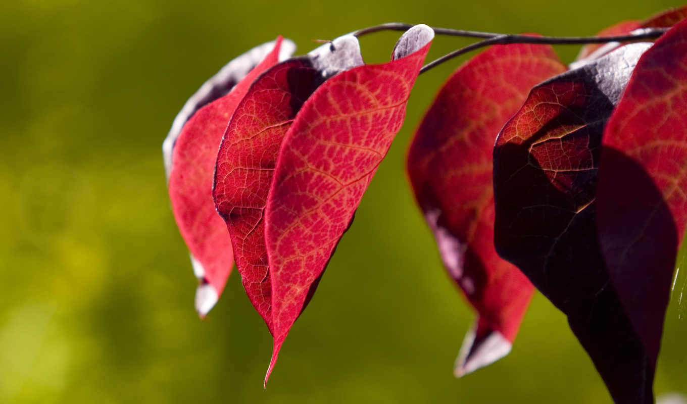 leaves, background, red, июня, trees, color, quality, макро, high,