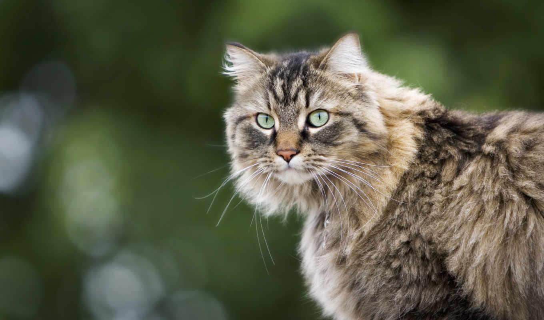 kot, кошки, zhivotnye, пушистый, котята, очен, kartinka, коты, vzglyad, рисованные,