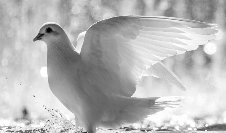 голубь, white, птица, перья, мира,