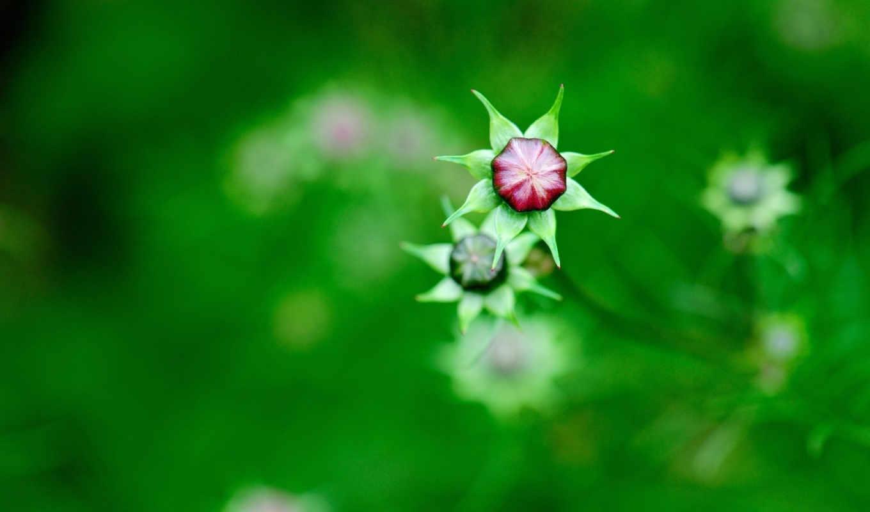 цветы, космея, полевые, бутоны, картинка,