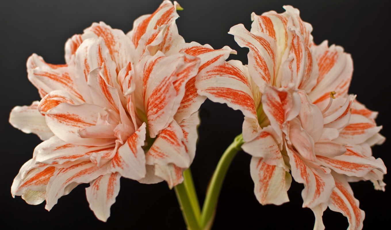 цветы, амариллис,