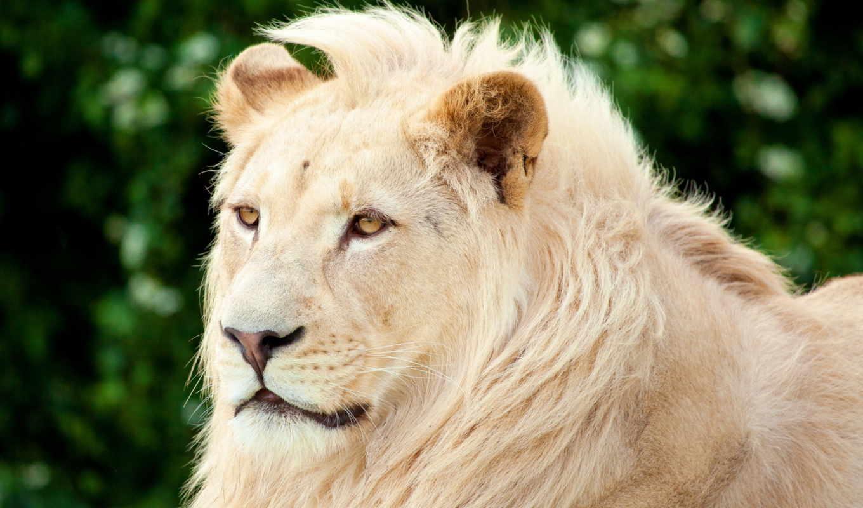 lion, white, грива, смотрит, морда, bang,