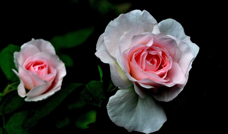 cvety, дивные, роза, листья, грустный, facebook, you, изображение, лепестки,