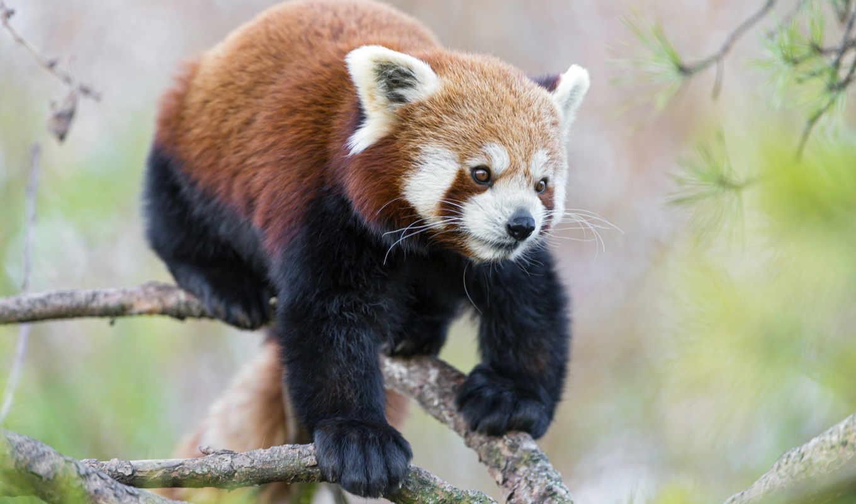 sway, microsoft, zhivotnye, панда, lion, июнь,