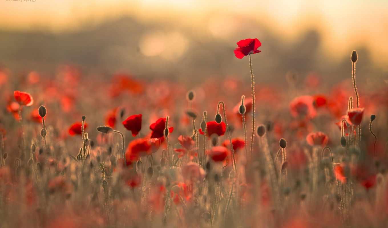 цветы, поле, боке, блики, маки, гимн,