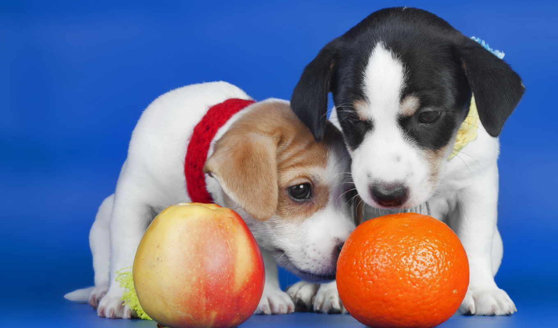 собаки, щенки, оранжевый, apple,