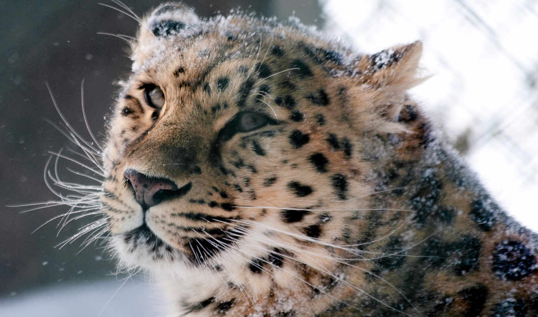 леопард, amur, кот, снег, wild, морда, desktop,