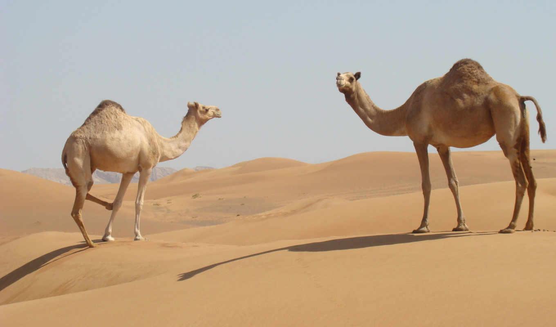 animals, camels, пустыня, песок, desktop, camel, код, high,