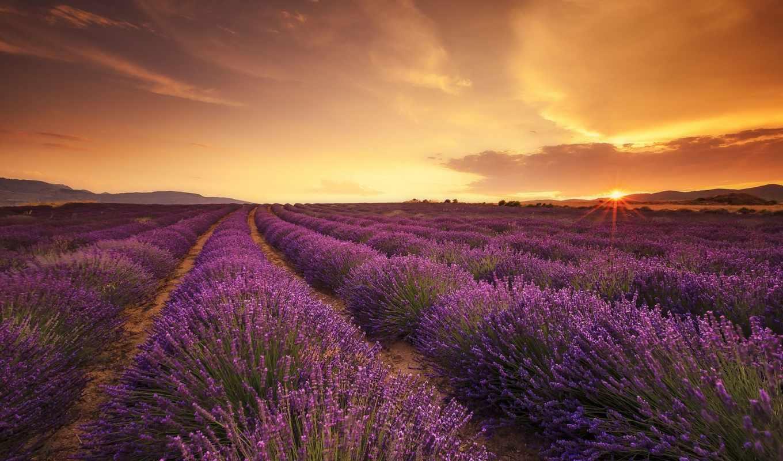 lavender, поле, высокого, canvas, качества, лаванды, страница, рассвет, свет,