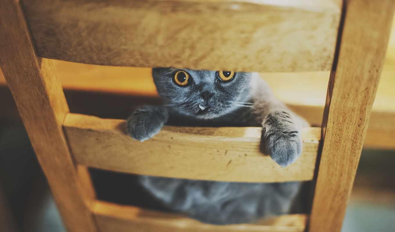 british, кресло, кот, котенок, коты, книга, взгляд, shirokoformatnyi, биг, free