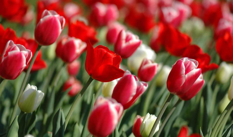 wallpaper, hd, tulips, wallpapers, red, spring, шпалери, tulipanes, artleo, ipad, pc, код, поле, цвітуть, тюльпани, квіти,