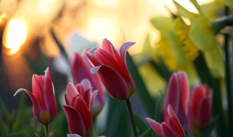 цветы, природа, тюльпаны,