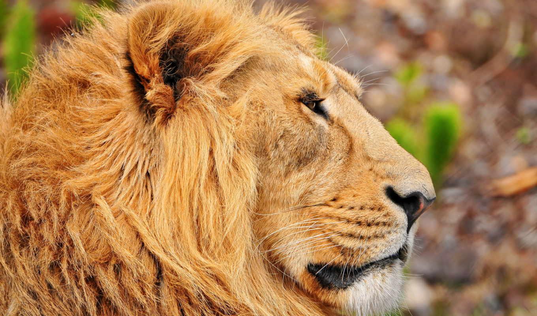 lion, profile, морда, грива,